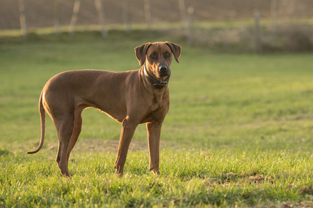 Proud Rhodesian Ridgeback dog is standing on a green meadow against blurred background an is looking forward