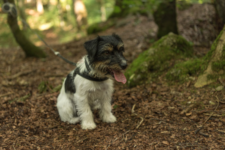 Small cute Jack Russell Terrier dog in the forest