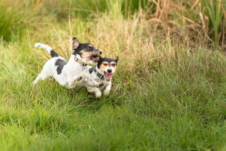 Two dogs are running across the meadow and hunt each other. Show light aggressive behavior. Actually cute and peaceful Jack Russell Terriers who just exaggerate in the game.