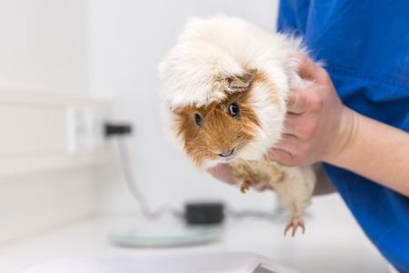 Lindo conejillo de indias en la práctica veterinaria es examinado por el veterinario