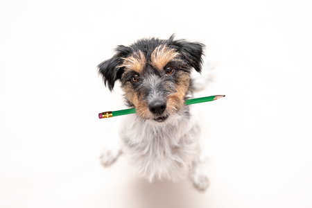 Adorable Jack Russell Terrier dog holds a pencil in his mouth. Cute office dog looking up