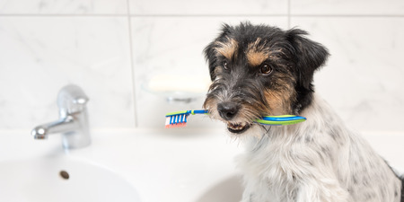 Dog holding toothbrush in bathroom. Young Jack Russell Terrier. Ready to brush the teeth to avoid the need for a dentist. Imagens - 125458326