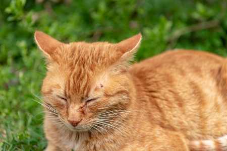 Cute red cat lies relaxed in the grass and has a tick over the eye on the head Stockfoto