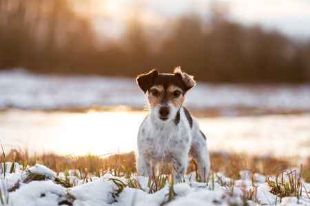 Proud small dog is standing in a snowy winter landscape  in the evening light. Cute Jack Russell Terrier hound, 8 years old, hair type broken