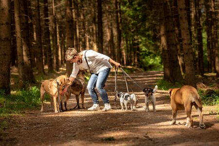 Walk with many dogs on a leash. Dog walker with different dog breeds in the beautiful forest Banque d'images