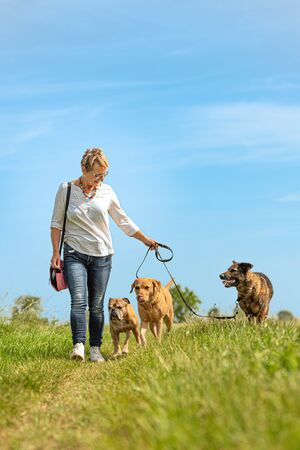 Dog sitter walks  with many dogs on a leash. Dog walker with different dog breeds in the beautiful nature Stock Photo