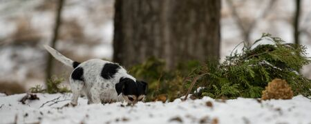 Purebred tricolor Jack Russell Terrier nose is following a track in the snowy winter . Cute little dog follows a trail on a path between trees in the forrest