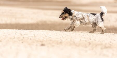 cute dog running on dry sandy ground and have fun. Jack Russell Terriers 4 years young