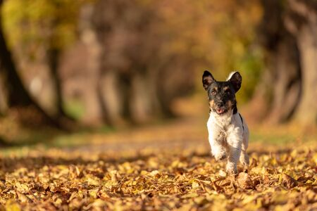 Jack Russell Terrier hound. Young cute dog is running fast through a tree avenue in the woods