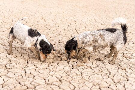 Dos lindos perros Jack Russell Terrier están cavando en un suelo arenoso y agrietado.