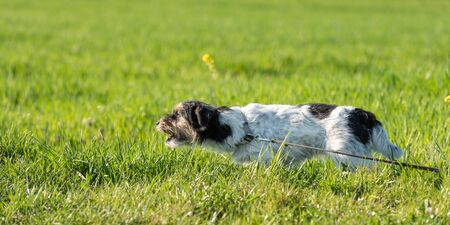 Jack russell terrier dog is waiting for a hook in the meadow and barks