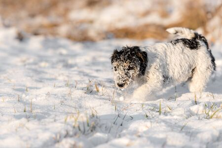 Jack Russell Terrier  - cute small hunting dog picks up a track in the snow and tracks it