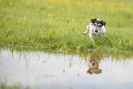funny little dog beats with his paw on damp water over dripping wet meadow. Small jack russell terrier seven years