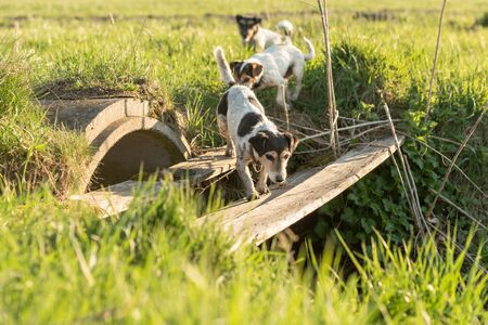 Dog is searching in inaccessible area. Small Jack Russell Terrier