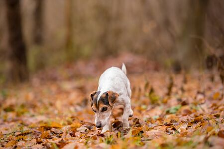 Purebred tricolor Jack Russell Terrier. Cute little dog follows a trail on a path between trees, grass, stones.