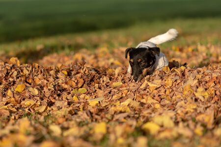 Little  small Jack Russell Terrier dog has a lot of fun in autumn leaves and is playing alone with leaves Stockfoto