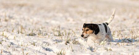 Jack Russell Terrier - Cute little dog runs over snowy meadow in winter