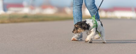 Woman is walking with a little disobedient Jack Russell Terrier dog on a tar road Stockfoto
