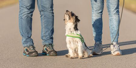 Woman is walking with a tiny obedient Jack Russell Terrier dog on a tar road. Dog ist sitting and is looking up.