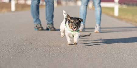 Woman is walking with a little obedient Jack Russell Terrier dog on a tar road. Dog is running away