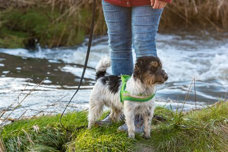 Woman is walking with a little obedient Jack Russell Terrier dog near a water body