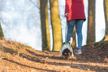 In autumn a  woman is  walking in the forest with a  disobedient young small tricolor Jack Russell Terrier dog