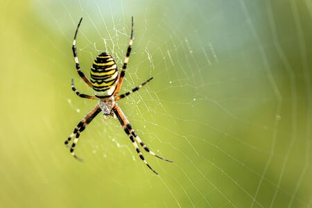 Yellow striped spider outside in nature in her spider web. Argiope bruennichi also called zebra, tiger, silk ribbon, wasp spider in front of blurred background