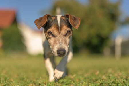 Portrait of a Jack Russell Terrier dog outdoor in the garden. Senior dog 13 years old Stockfoto