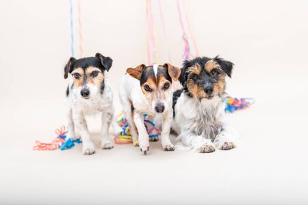 Three cute cheeky party dog. Jack Russell dogs ready for carnival