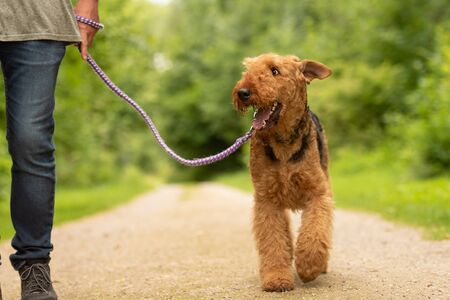 Airedale Terrier. Dog handler is walking with his odedient dog on a rural street in a forest.