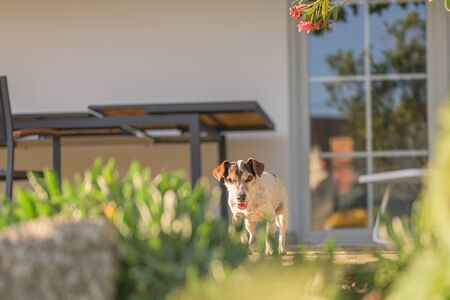 Old little Jack Russell Terrier dog is at home on the terrace. Doggy is 13 years old