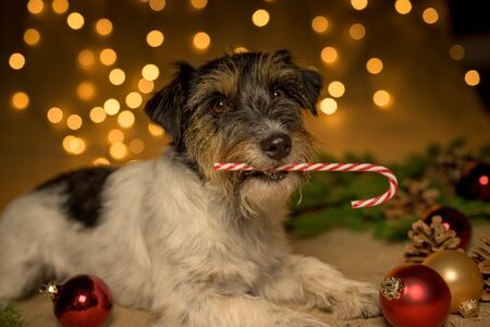Little dog is holding a candy cane in his mouth in front of blurred Christmas background. Stockfoto