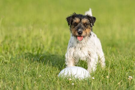 Small Jack Russell Terrier is standing at a bullet and is waiting. Sporty obedient dog in training Imagens
