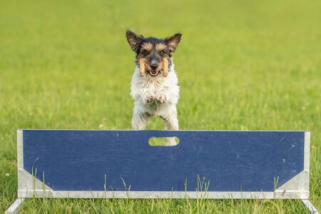 Small Jack Russell Terrier dog is jumping fast over a hurdle. Dog is holding a dumbbells in the catch