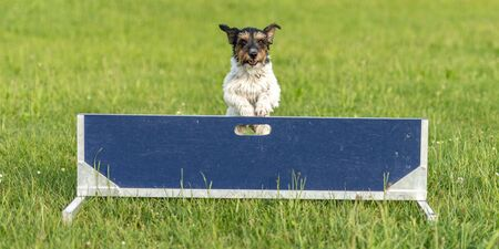 Small Jack Russell Terrier dog is jumping fast over a hurdle Imagens