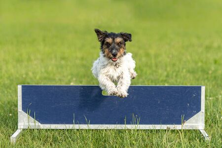 Small Jack Russell Terrier dog is jumping fast over a hurdle Stok Fotoğraf