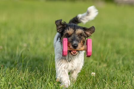 Small Jack Russell Terrier dog is holding a dumbbells in the catch outdoor. Doggz is runnig across a green meadow Imagens - 128674055