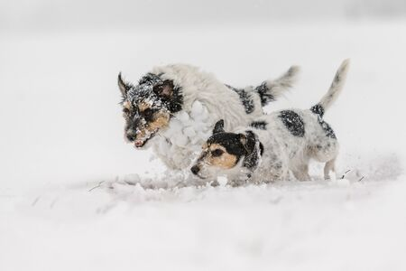 Jack Russell Terrier dog in the snow. Cute funny dogs running in front of white background Stockfoto