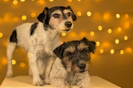 Two little Jack Russell Terrier dogs are sitting obediently in front of blurred Christmas background.