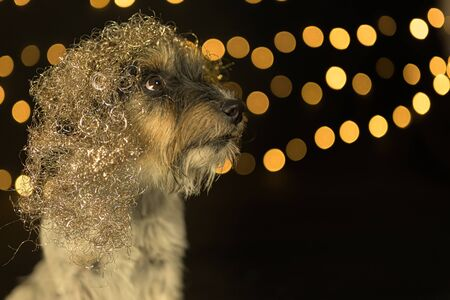 Jack Russell Terrier dog is wearing a silver golden wig. Ready for the party