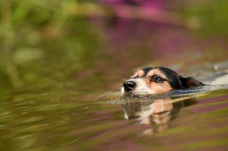 Cute little Jack Russell Terrier is swimming in a colorful waters