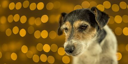 Little sad Jack Russell Terrier dog sits in front of blurred Christmas background. Stock Photo