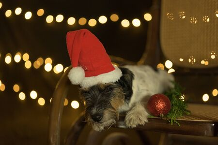 cute christmas Jack russell Terrier dog is lying on a chair and looking down Foto de archivo - 129985081