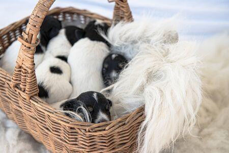 Jack Russell Terrier puppy dogs 12 days old. a litter of young whelp lie in a basket and sleeping Foto de archivo - 129985082
