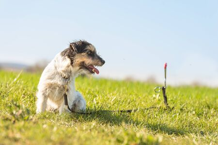 Cute Jack russell Terrier dog is waiting tethered to a earth hook in the meadow