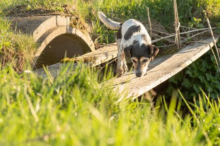 Dog is searching in inaccessible area. Small Jack Russell Terrier Foto de archivo - 129985092