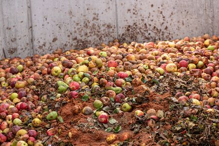 rotten and battered apples compost after harvest. Stock fotó