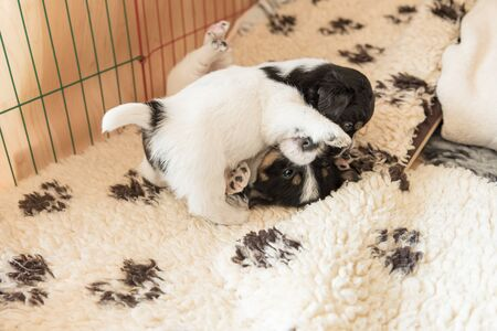 Jack Russell Terrier puppy dogs 4 weeks old. Young sibling puppies playfully comb Standard-Bild - 129985107