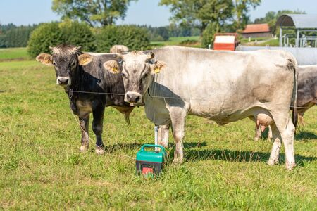 Two cows are standing in a pasture and looking Standard-Bild - 129985111