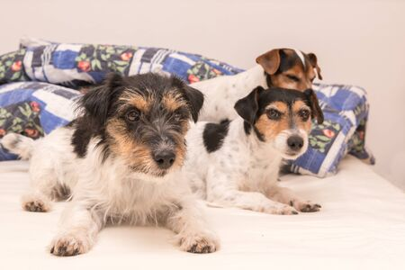 A group of funny dogs are lying and sleeping in a bed. Three small Jack Russell Terrier dog.